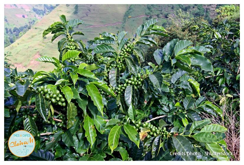 Caféiers verts